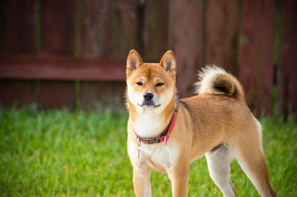 Dogecoin se recupera cuando los usuarios de TikTok intentan aumentar su precio a $ 1